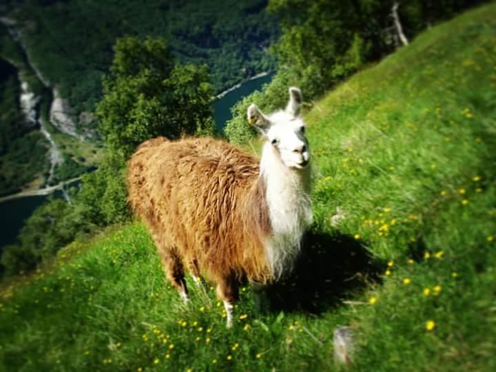 the lama posing