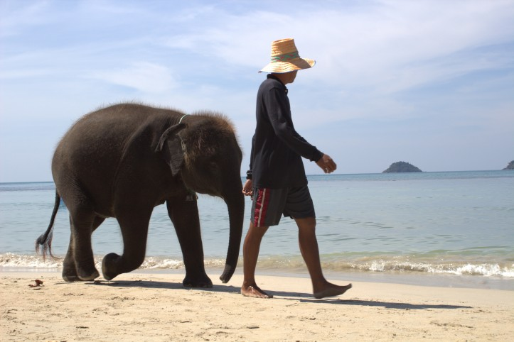 An elephant walking on the beach in the Elephant island, Koh Chang, Thailand