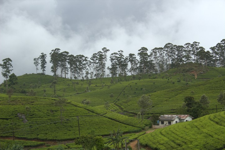 Tea plantations around Haputale Sri Lanka
