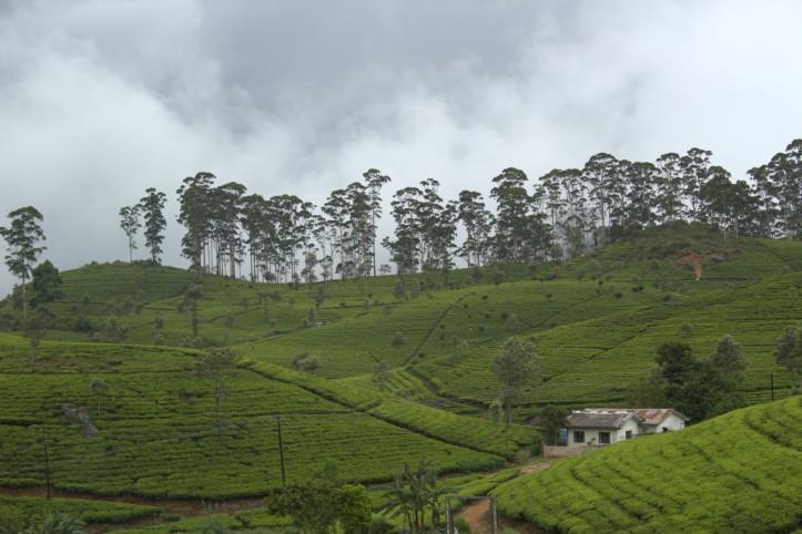 Tea plantations around Haputale Sri Lanka